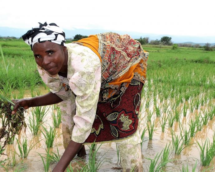 Female farmer bending over to weed her rice plot in Tanzania
