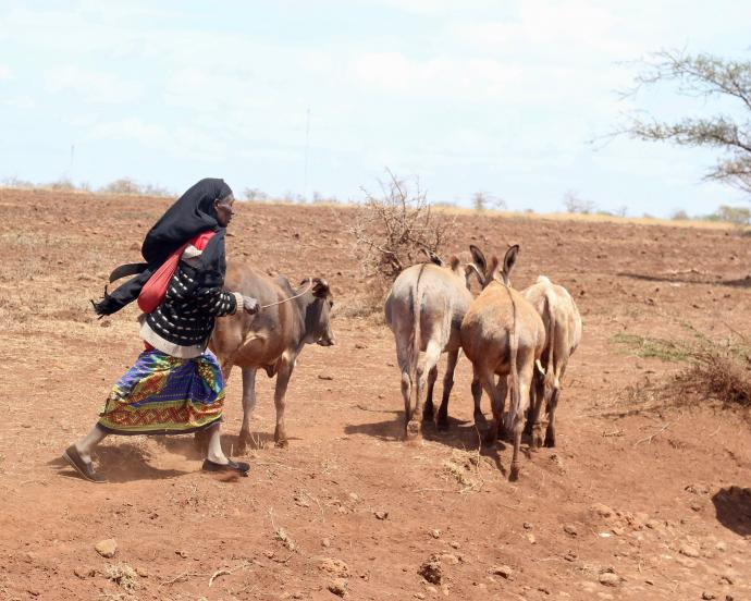 Woman pastoralist herds cattle through dusty field in rural Kenya